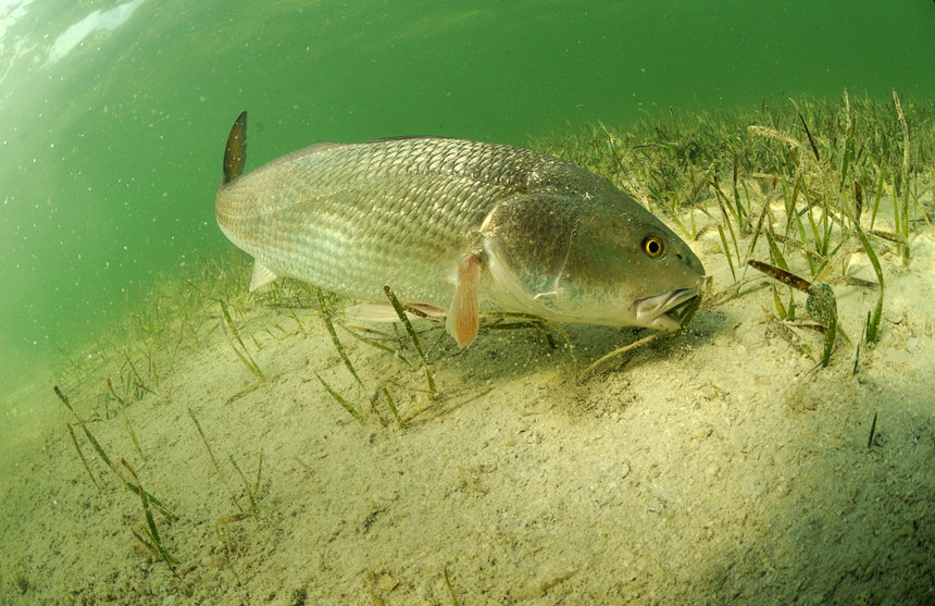 Redfish fish swimming in the ocean off of the Florida coast